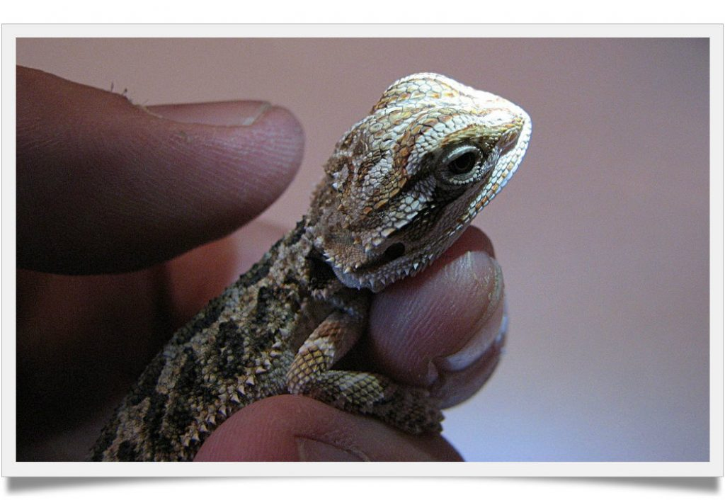 Everything You Need To Know About Baby Bearded Dragon ...