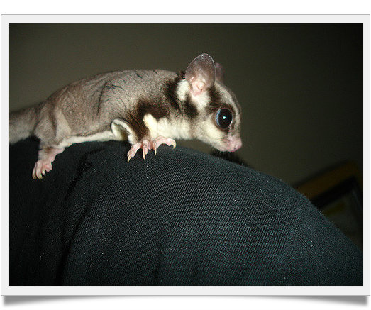 Top 10 Facts About Sugar Gliders You Didn't Know